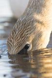 Cygnes de Trumpter Photo libre de droits