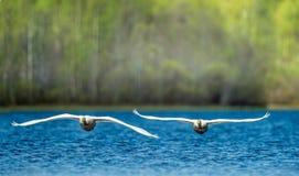 Cygnes de vol photos libres de droits