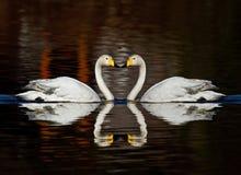 Cygnes de Whooper Image libre de droits