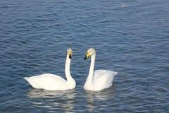 Cygnes de Whooper nageant dans le lac Photographie stock