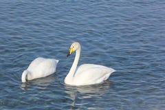 Cygnes de Whooper nageant dans le lac Photo stock