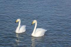 Cygnes de Whooper nageant dans le lac Image stock