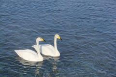 Cygnes de Whooper nageant dans le lac Photographie stock libre de droits