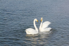 Cygnes de Whooper nageant dans le lac Photos libres de droits