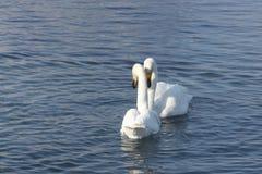 Cygnes de Whooper nageant dans le lac Images libres de droits