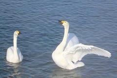 Cygnes de Whooper nageant dans le lac Image libre de droits