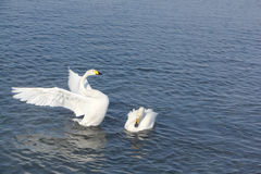 Cygnes de Whooper nageant dans le lac Images stock