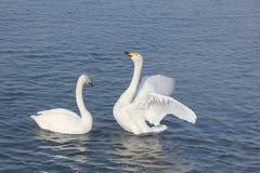 Cygnes de Whooper nageant dans le lac Photos stock