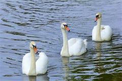 Cygnes dedans Walton-sur la Tamise, Angleterre photographie stock