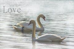 Cygnes doux, symboles de l'amour Photographie stock libre de droits