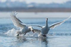 Cygnes effectuant le vol sur le lac Image libre de droits