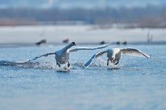 Cygnes effectuant le vol sur le lac Photos libres de droits