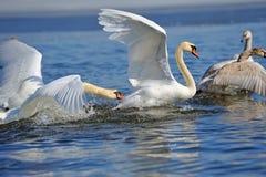 Cygnes effectuant le vol sur le lac Photos stock