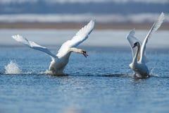 Cygnes effectuant le vol sur le lac Photographie stock