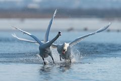 Cygnes effectuant le vol sur le lac Image stock