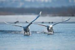 Cygnes effectuant le vol sur le lac Photo libre de droits