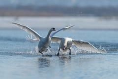 Cygnes effectuant le vol sur le lac Photographie stock libre de droits