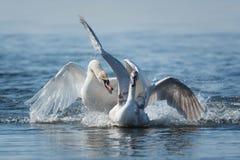 Cygnes effectuant le vol sur le lac Photo stock