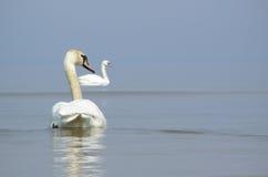 Cygnes en mer Photo libre de droits