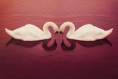 Cygnes en Valentine Pose Photographie stock libre de droits