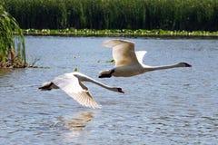 Cygnes en vol Photos libres de droits