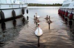 Cygnes entre les croiseurs sur la rivière Shannon, Irlande Photographie stock libre de droits