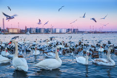 Cygnes et beaucoup de différents canards Photos libres de droits