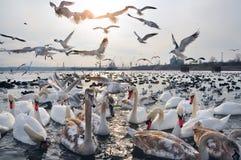 Cygnes et beaucoup de différents canards Photo stock