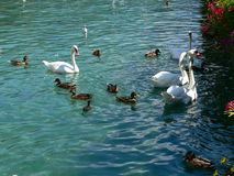 Cygnes et canards Photographie stock