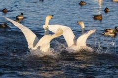 Cygnes et canards Photos libres de droits