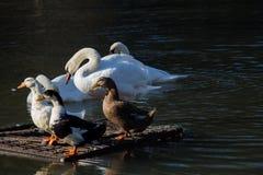 Cygnes et canards dans l'environnement naturel Images libres de droits