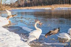 Cygnes et canards dans la nature d'hiver Image stock