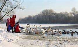 Cygnes et canards sur le fleuve en hiver image libre de droits