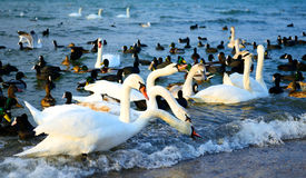 Cygnes et dugs Photos libres de droits