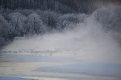 Cygnes et grues dans la brume Photo stock