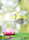 cygnes et lotus sur l'eau en parc Images libres de droits