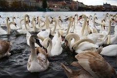 Cygnes flottant à la rivière Images libres de droits