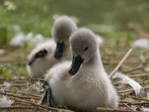 Cygnes, jeunes cygnes, séance et lisser de bébé Fin avant de jeune cygne, au foyer photographie stock libre de droits