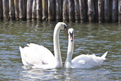 Cygnes mâles et femelles sur un lac Image stock