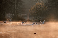 cygnes muets Photographie stock libre de droits