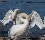 Cygnes muets de poursuite sur le rivage de lac Image stock