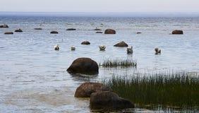 Cygnes muets près du bord de la mer Photos libres de droits