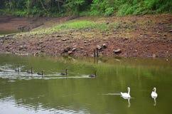Cygnes nageant au lac du réservoir en Pang Ung Photo libre de droits