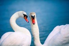 Cygnes nageant dans le lac Photos libres de droits