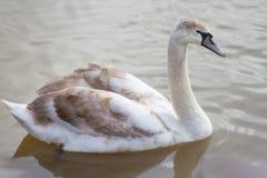 Cygnes nageant dans un lac Photo stock