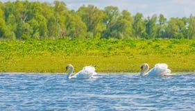 Cygnes nageant dans un lac au printemps Photographie stock libre de droits