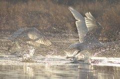 Cygnes nageant sur la rivière Une paire d'oiseaux sur l'eau Amour Photos stock