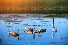 Cygnes nageant sur le lac Images stock