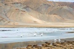 Cygnes nageant sur le lac glacé froid Photos stock