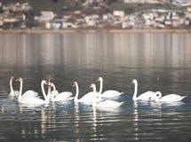 Cygnes nageant sur le lac Pamvotis, Épire, Grèce Photos stock